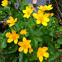 Калужница болотная (Caltha palustris) Р-9